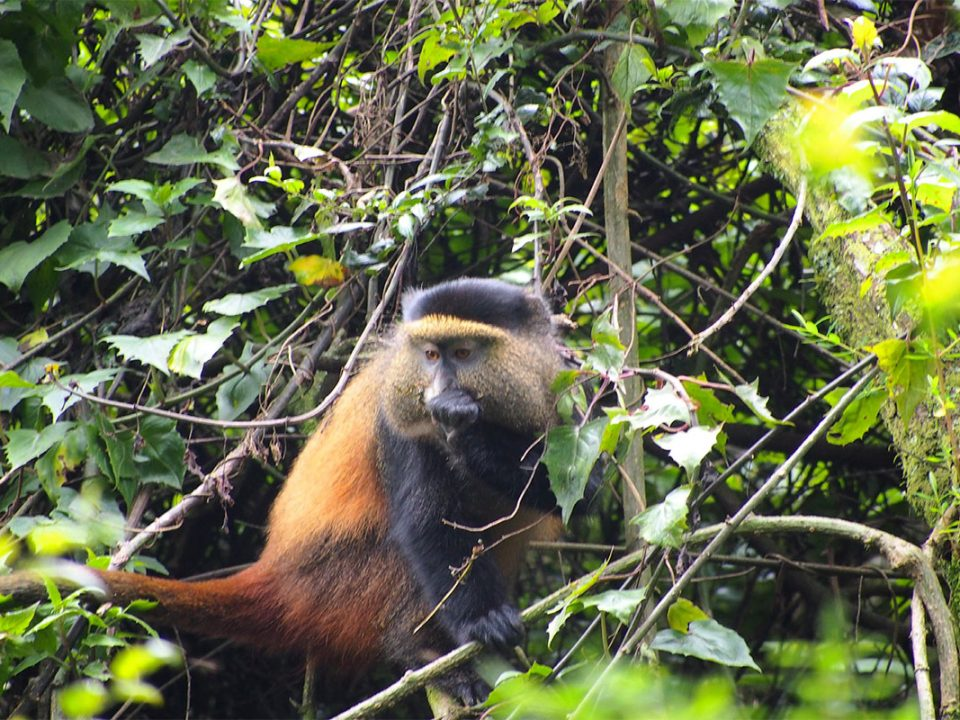 Mgahinga golden monkey tracking packages