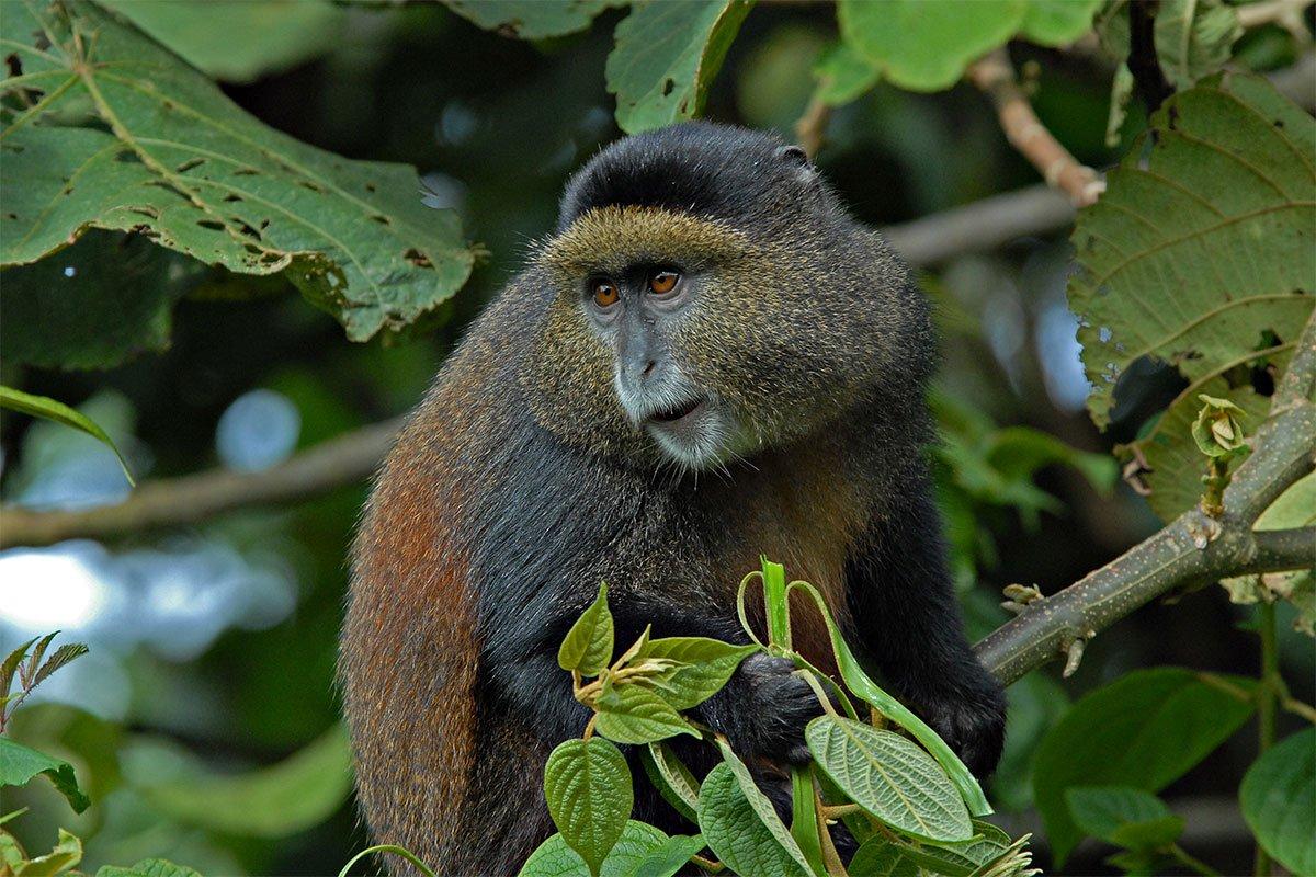 Mdahinga gorilla & golden monkey tracking via Kigali