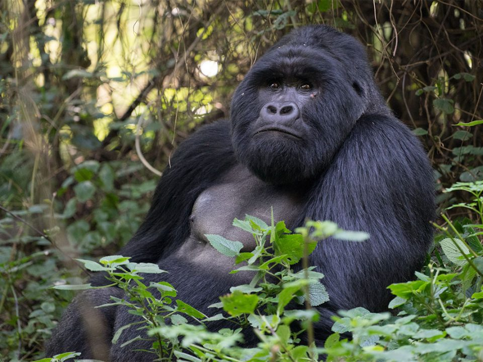 mgahinga gorilla tracking and batwa experience