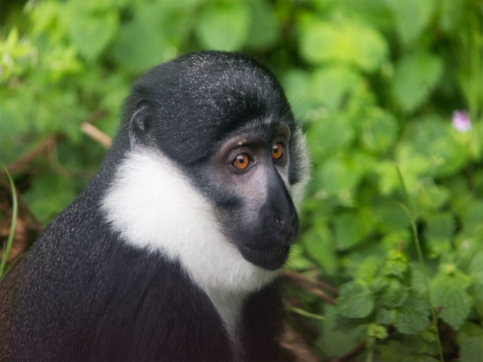 Monkey tracking in Nyungwe forest National Park