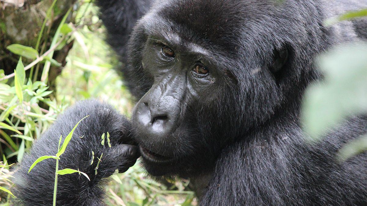 Budget mountain gorilla safaris in Africa