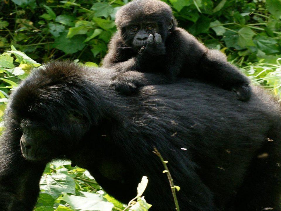 Mountain Gorillas,Gorilla trekking Uganda