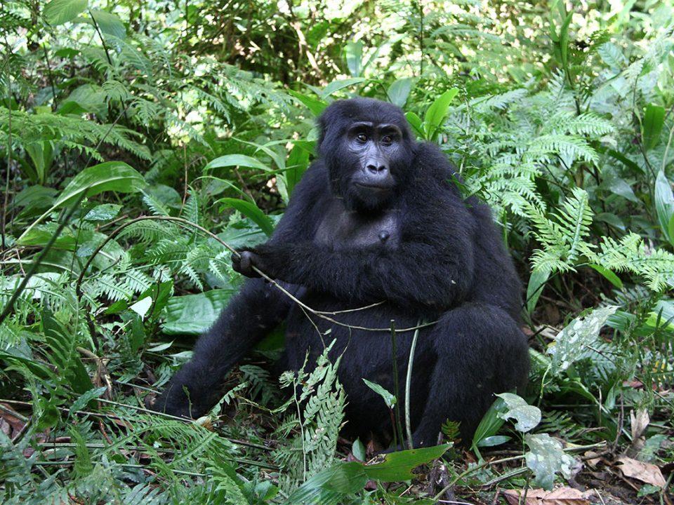 Mountain gorilla holidays in Rwanda