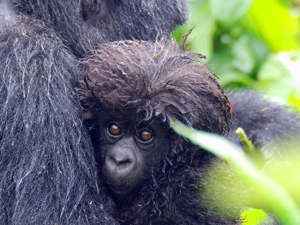 Mountain Gorilla information