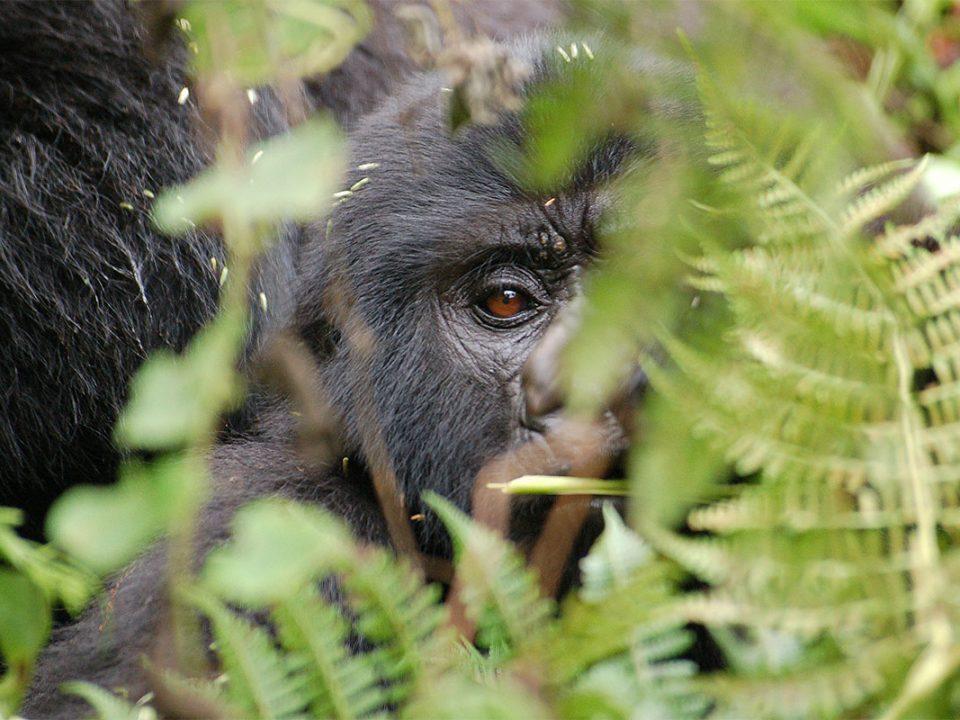 Gorilla tours Uganda and Rwanda