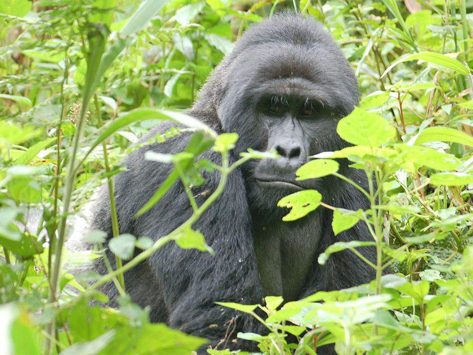 Mountin gorilla tracking Uganda