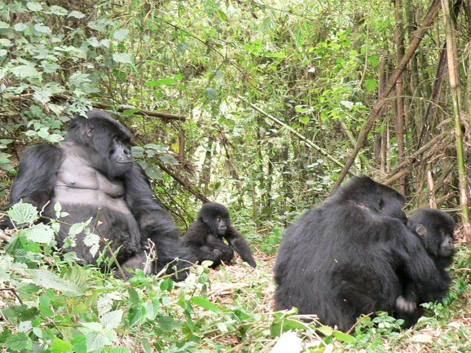 Buhoma mubare gorilla family gets newborn gorilla