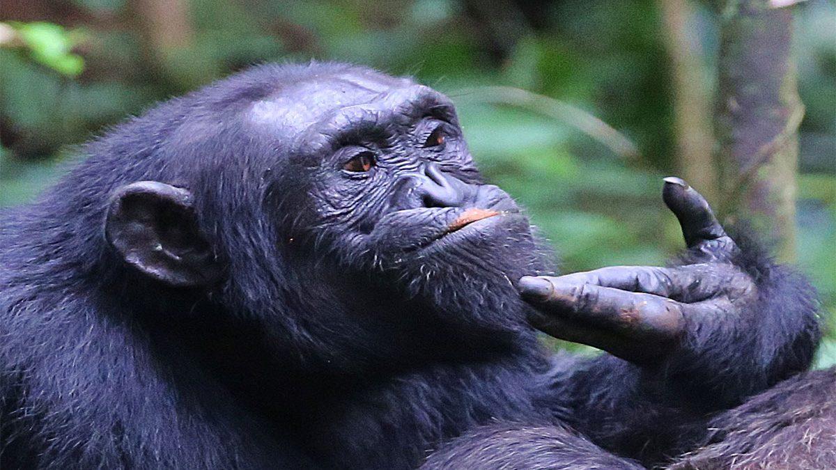 Murchison falls Chimpanzee tracking