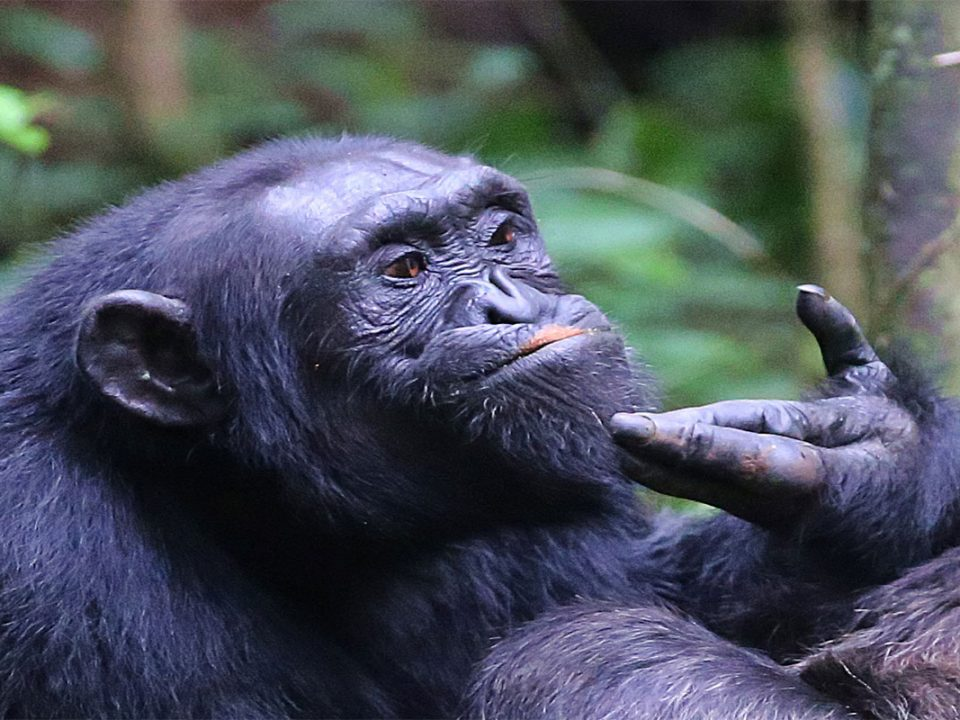 Murchison falls Chimpanzee tracking
