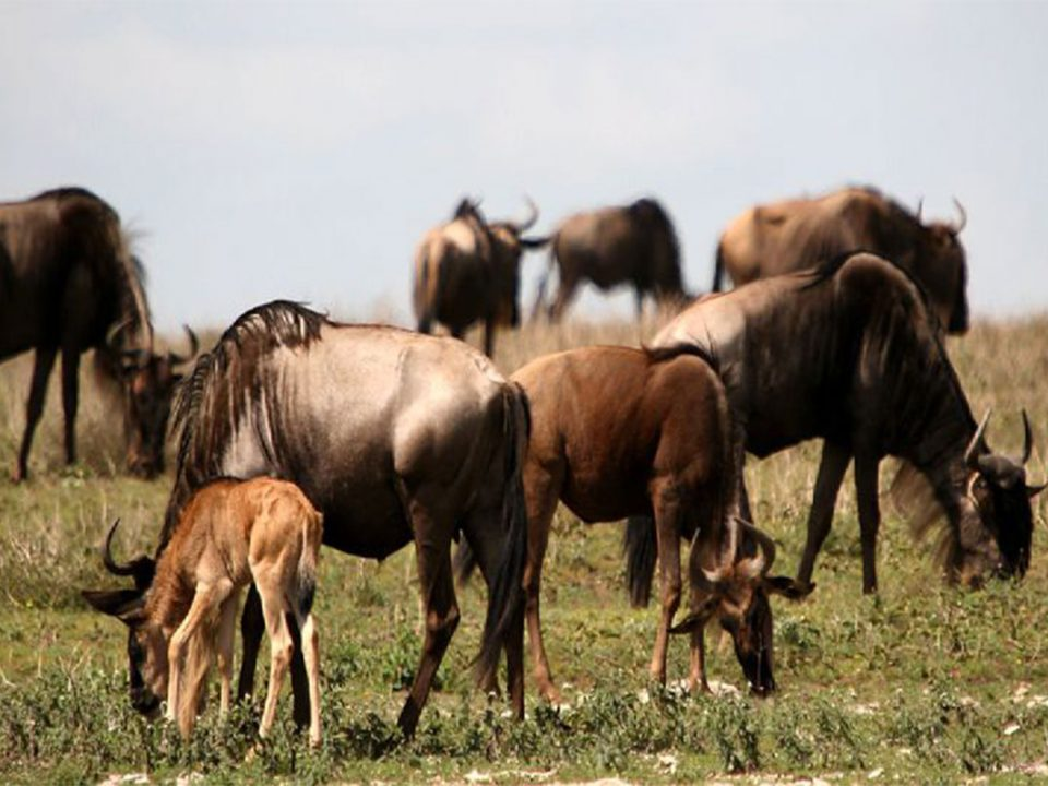 Ndutu wildebeest calving season Tanzania