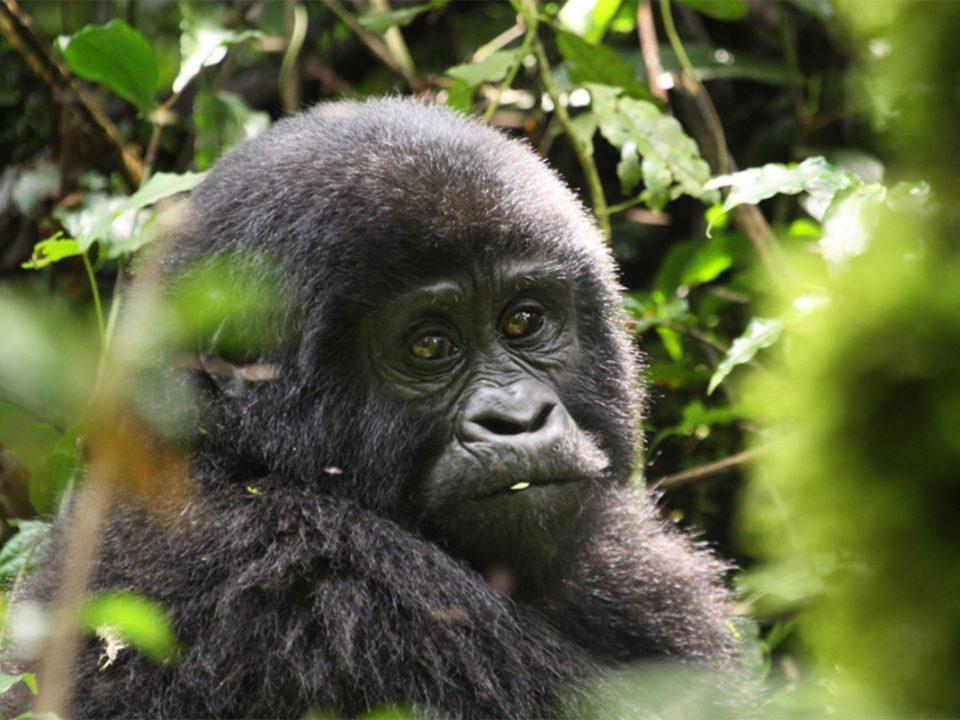 New years gorilla tracking safari