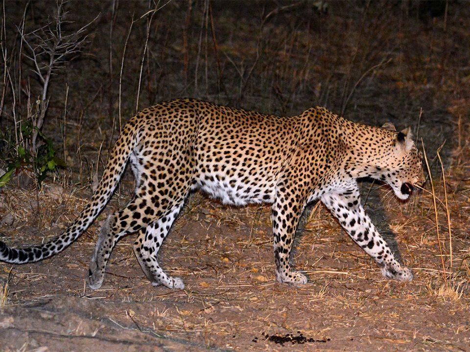 Night game safari in Kafue Zambia