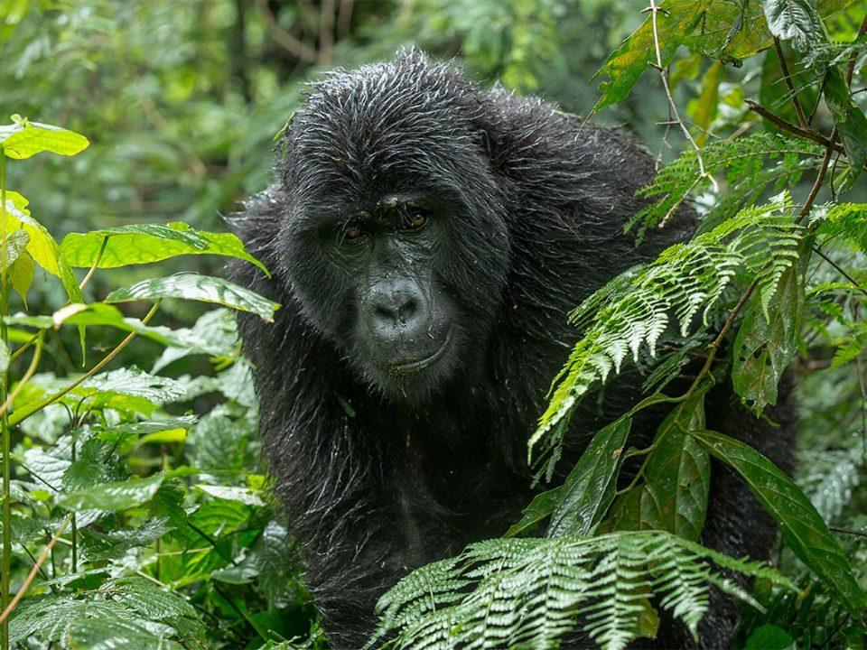 Nkuringo gorilla permits