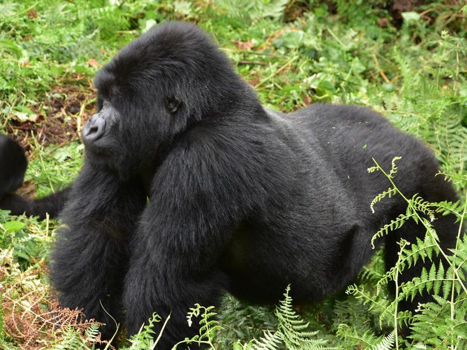 Nkuringo Gorilla sector, Gorilla trekking tours in Uganda
