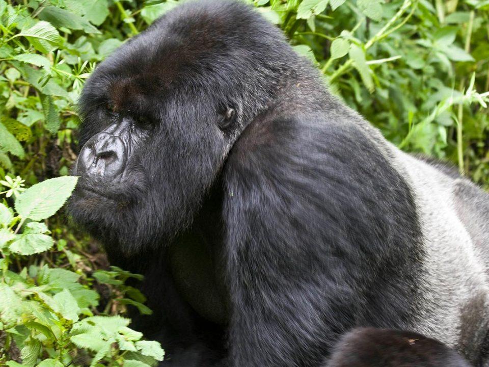 Nyakagezi Gorilla family, Gorilla trekking Uganda