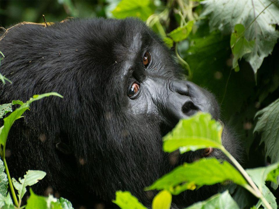 Organizing gorilla tracking safari