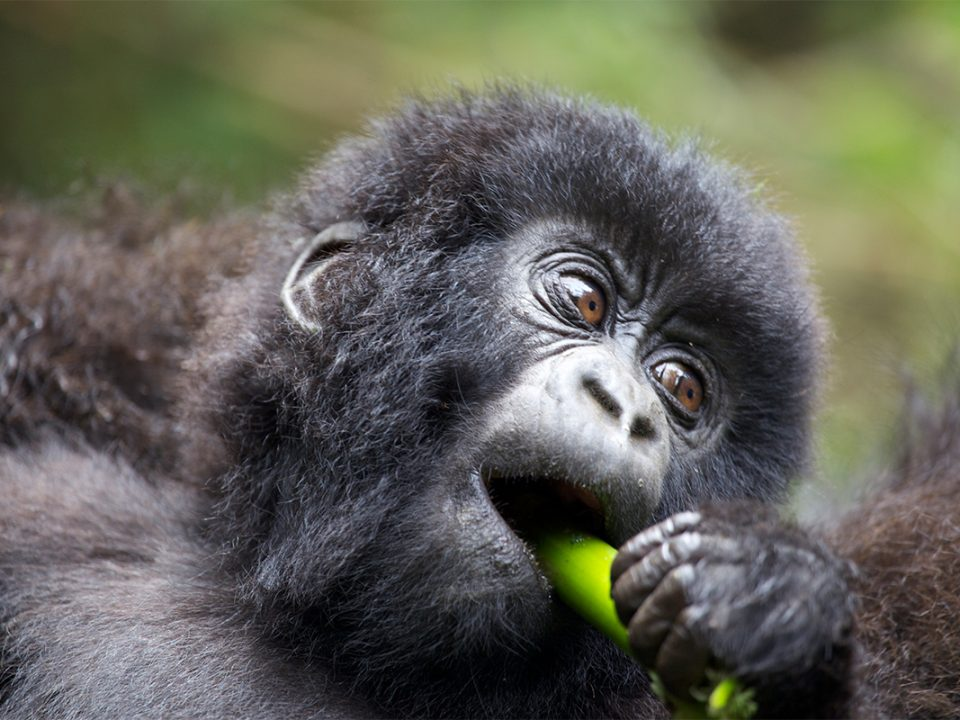 Allocation of gorilla permits