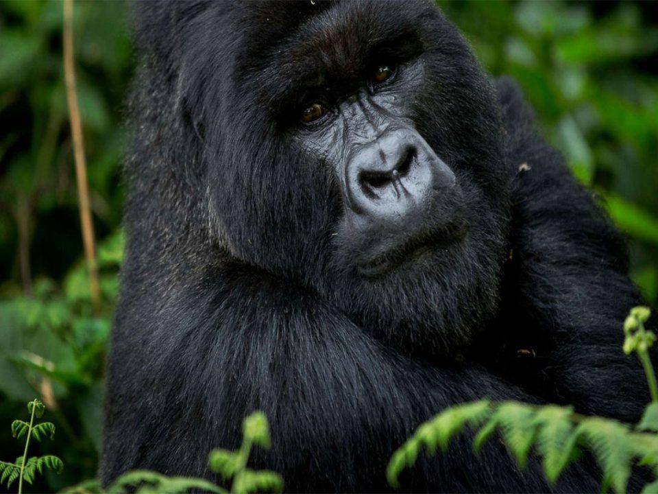 Planning a gorilla trekking safari to Uganda