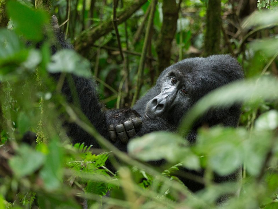 Uganda gorilla trekking cost