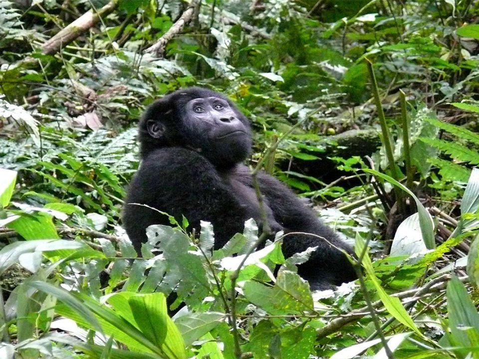 Purchasing gorilla permits for Uganda and Rwanda