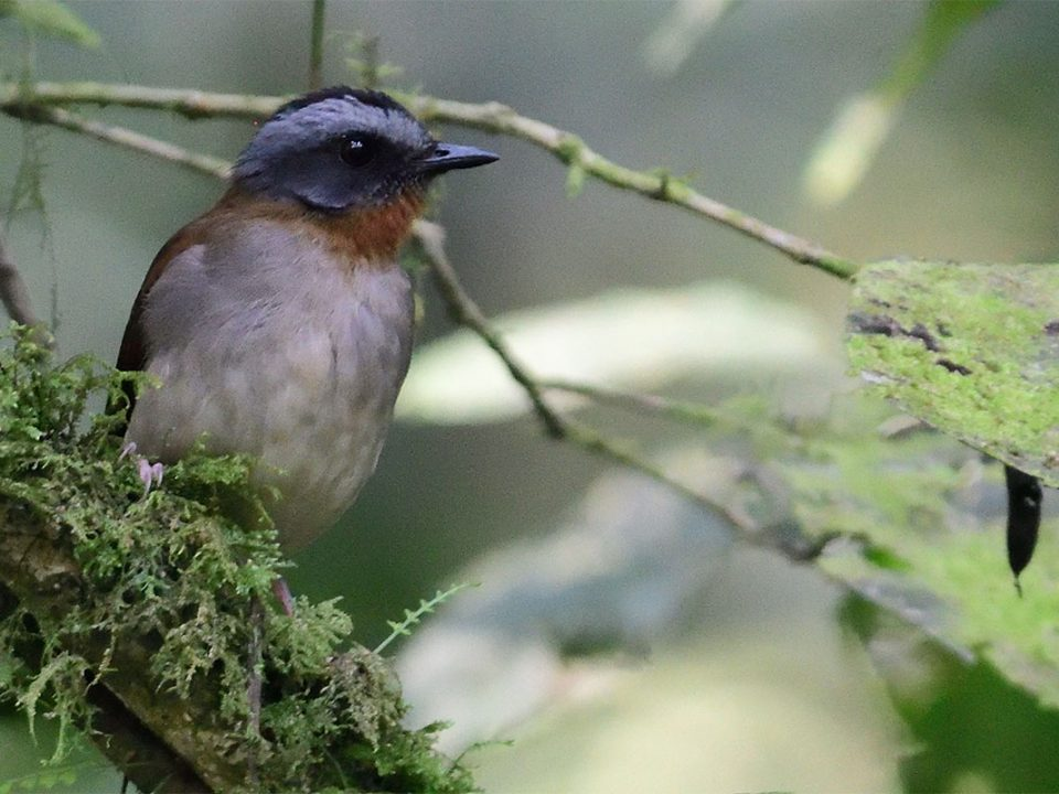 Red throated alethe in Uganda