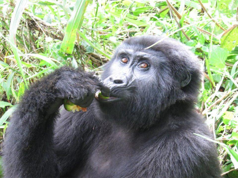 Gorilla permits in Ruhija