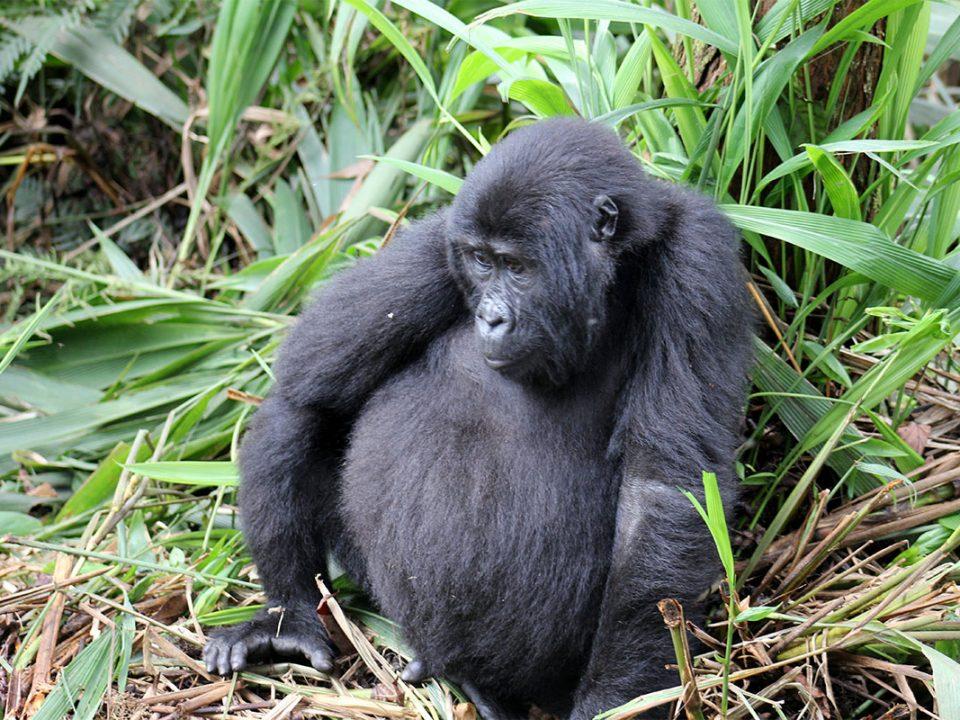 Ruhija region gorilla safaris