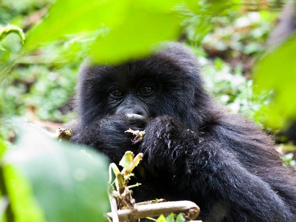 Rushaga Gorilla groups-Budget gorilla trekking