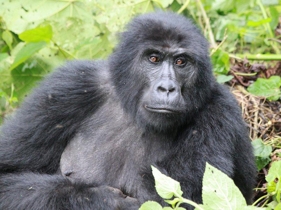 Rushaga sector, Gorilla trekking Uganda