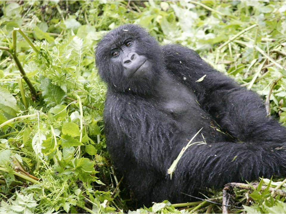 Rushaga gorilla habituation safari