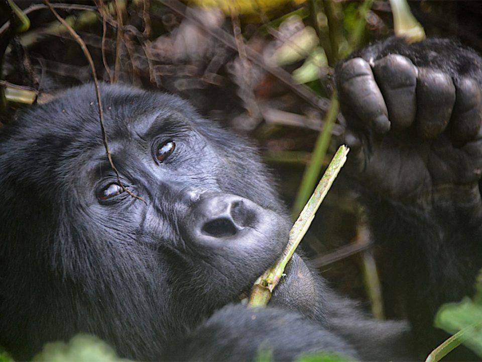 Rushaga gorilla holiday and gorilla permits
