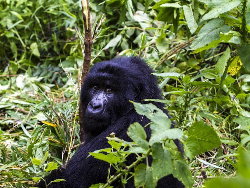 Rushaga gorilla permits