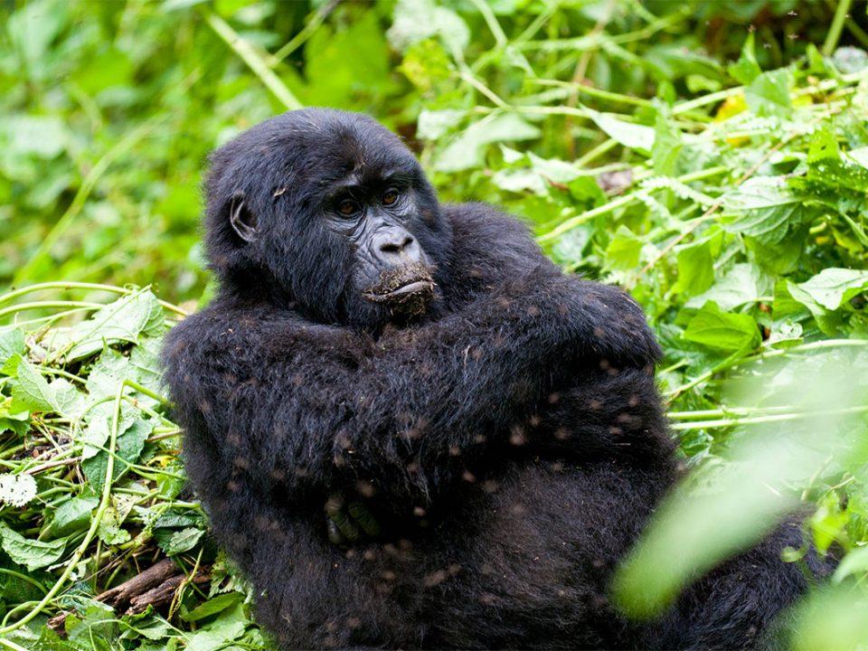 Rushaga region gorilla safari tours