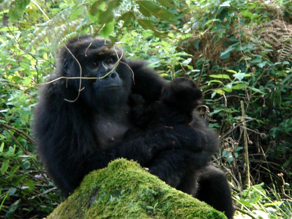 Rwanda and Uganda gorilla permits