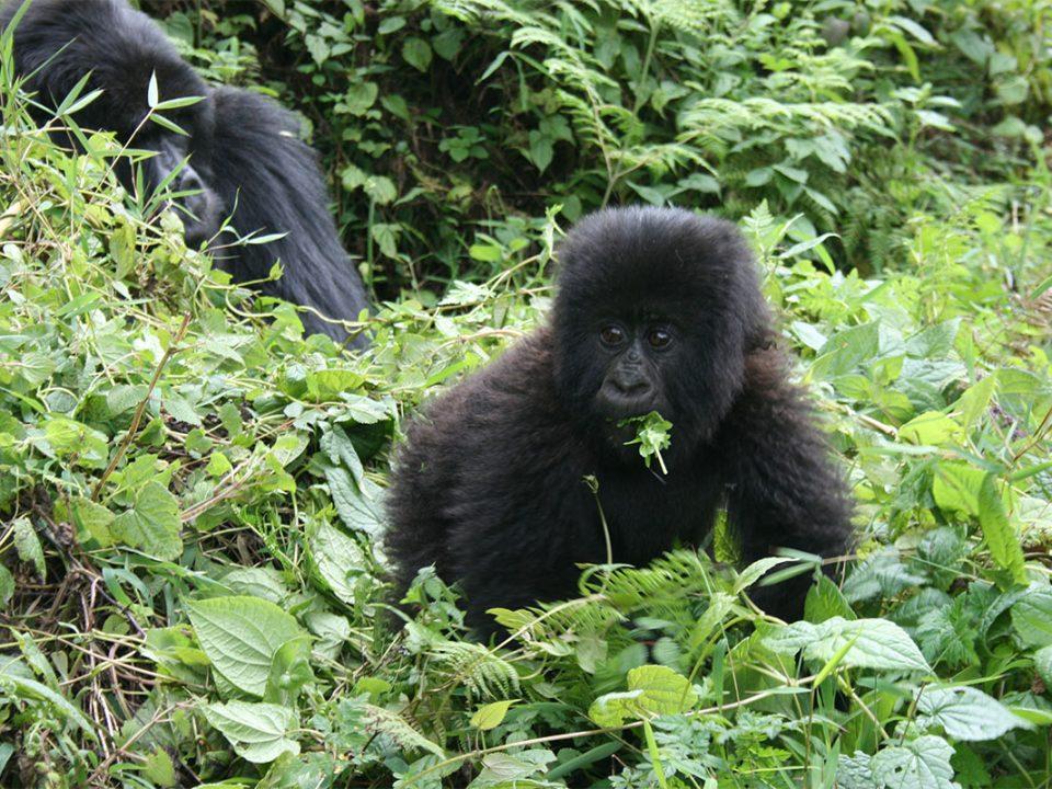 Rwanda gorilla safari company