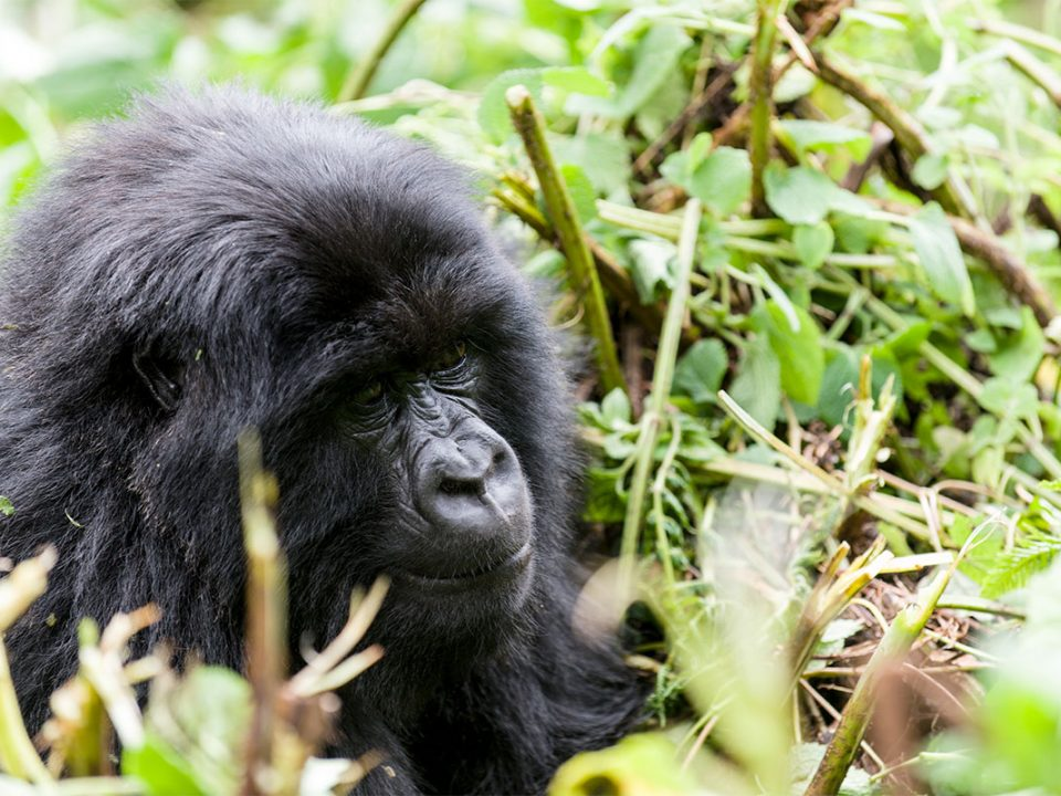 Rwanda gorilla safari tours
