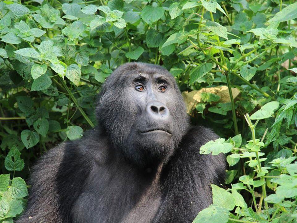 Rwanda gorilla tracking rules and regulations