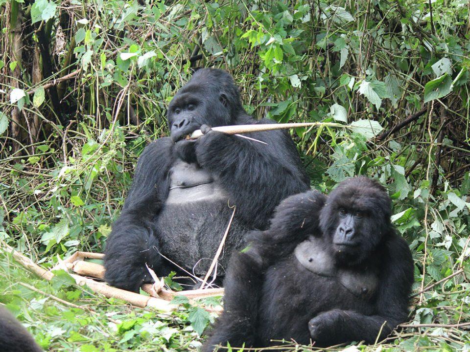 Rwanda gorilla tracking with Great Adventures