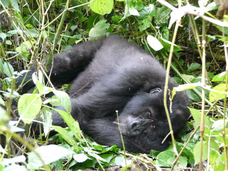 Rwanda gorilla walking tours and safaris
