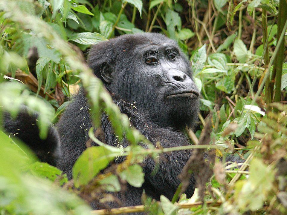 Rwanda habituated gorilla families
