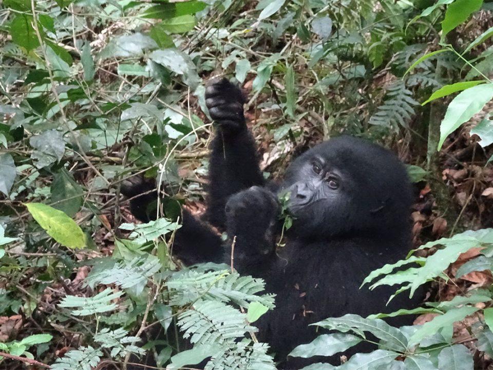 Rwanda honey moon gorilla safaris