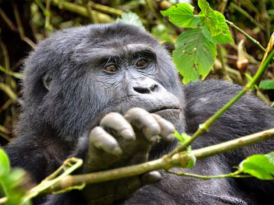 Rwanda large groups gorilla safari tours