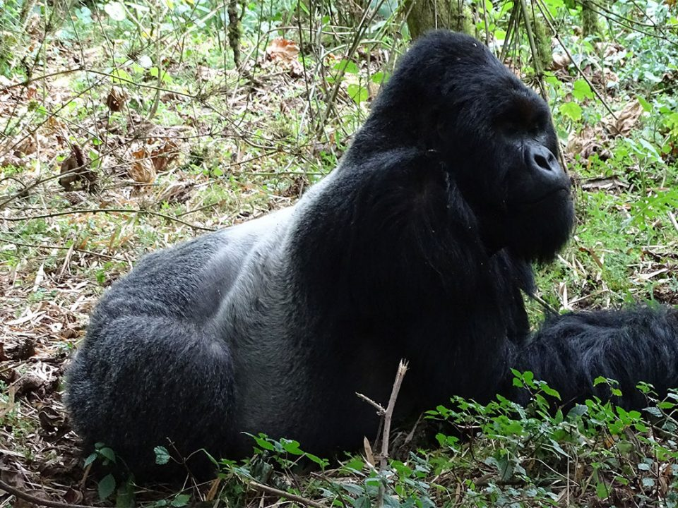 Rwanda mountain gorilla tracking safaris