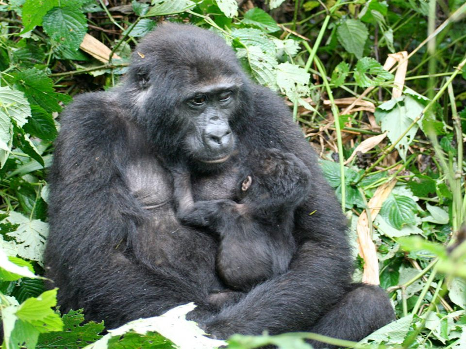 Rwanda rift valley gorilla tracking safaris