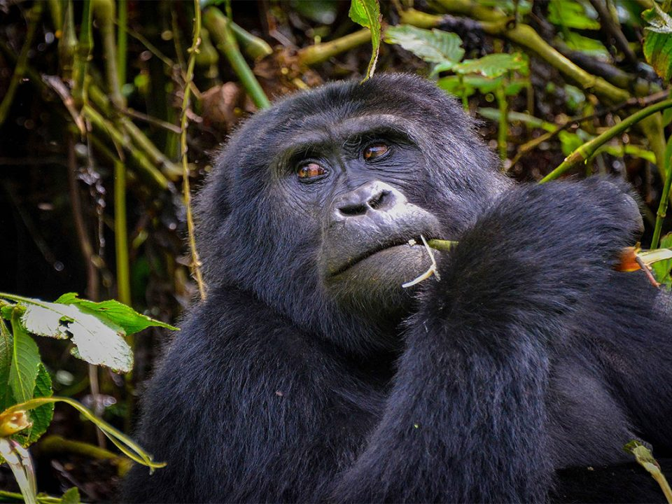 Rwanda wild gorilla safari adventure