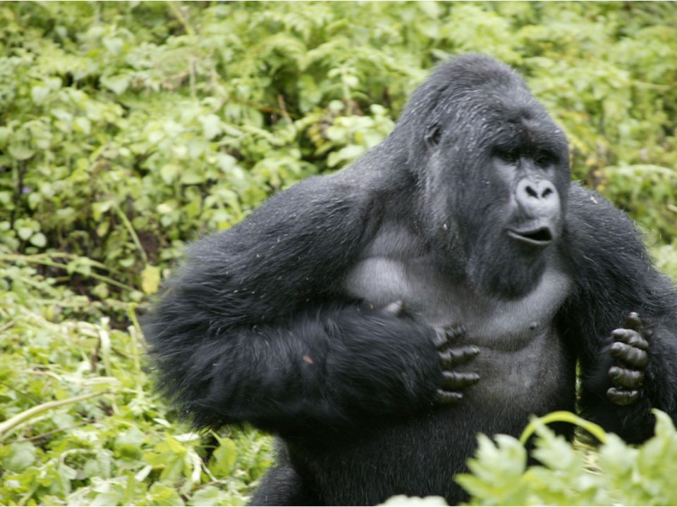 Sabinyo gorilla family group