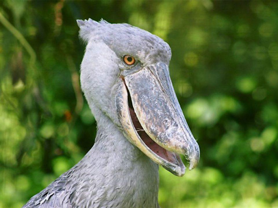 Shoebill stork boat trip