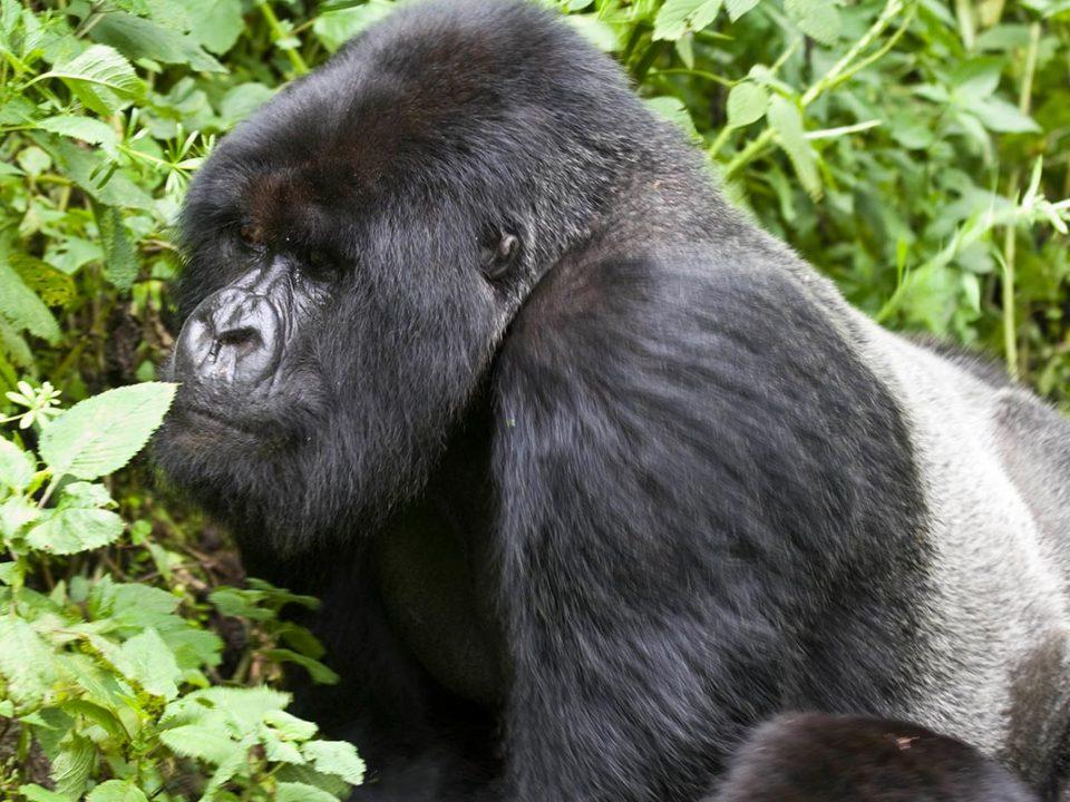 Silver back Gorilla trekking Uganda