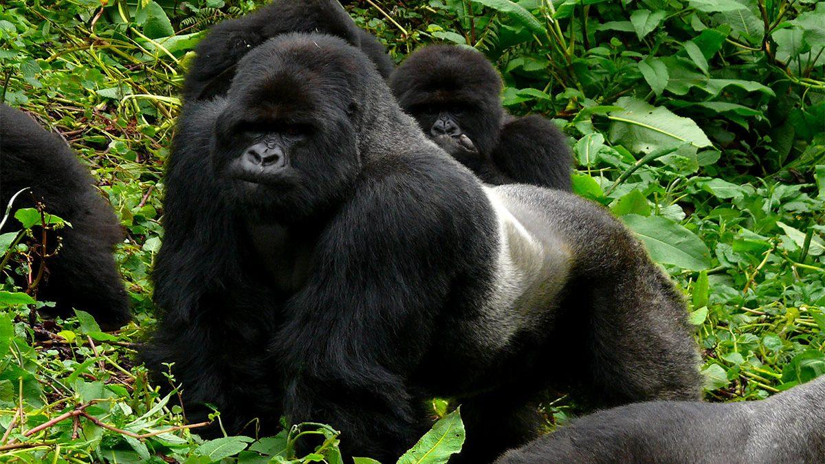Silverback gorilla protects family