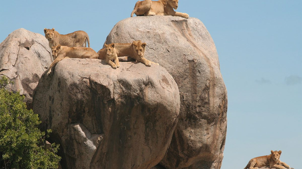 Simba Kopjes serengeti Tanzaina